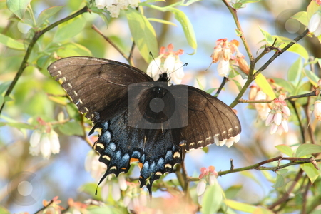 Butterfly in Blueberry Bush stock photo, This is a picture I took of a black and blue butterfly on a blueberry bush by Debbie Hayes