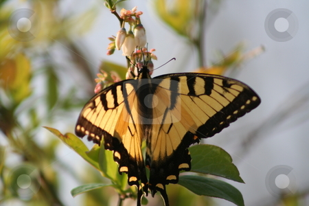Yellow Butterfly on a Bush stock photo,  by Debbie Hayes