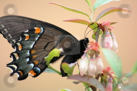 Butterfly on a Bush stock photo, This is a picture I took of a butterfly on a blueberry bush blossom. by Debbie Hayes