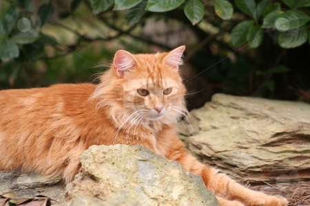 Orange cat on the rocks stock photo, My orange cat, Opie, laying on some rocks. by Debbie Hayes