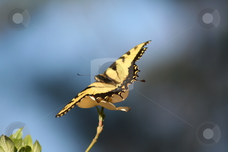 Butterfly yellow and black stock photo, Yellow and black butterfly on a Dogwood bloom by Debbie Hayes