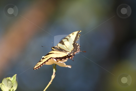 Butterfly stock photo, Yellow and black butterfly on a Dogwood bloom by Debbie Hayes