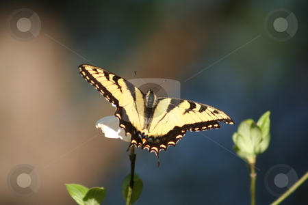 Butterfly on flower stock photo, Yellow and black butterfly on a Dogwood bloom by Debbie Hayes