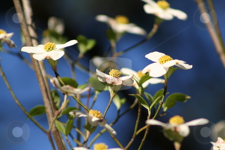 Dogwood blossoms stock photo, Blooms on a Dogwood tree by Debbie Hayes