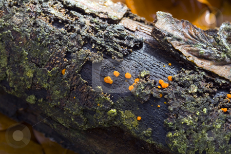 Rotten Twig with Orange Fungus stock photo, Rotten stick covered in lichen and orange fungus - detail by Petr Koudelka