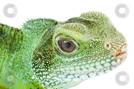 Physignathus cocincinus  stock photo, Face and head of an adult agama Physignathus cocincinus by Petr Koudelka