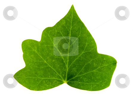 Leaf of Ivy stock photo, Detail of a leaf blade of ivy over white by Petr Koudelka