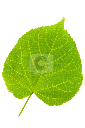 Lime Tree Leaf stock photo, Detail of a leaf blade of a lime tree by Petr Koudelka