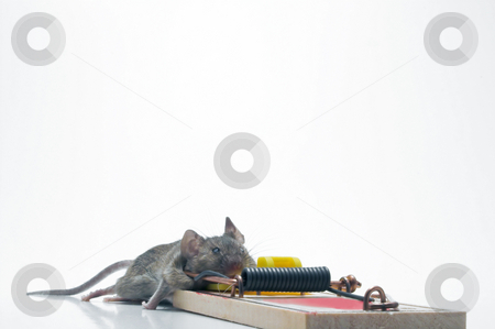 Dead Mouse in a Trap stock photo, A dead field mouse in a mousetrap. by Robert Byron