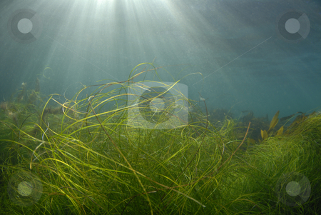 Shallow Underwater Grass stock photo, Streaks of sunlight pierce the surface of the ocean while grass and kelp wave in the currents by A Cotton Photo