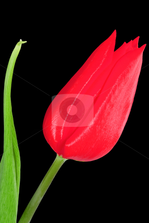 Red Tulip stock photo, A bloom of a red tulip on the black background by Petr Koudelka