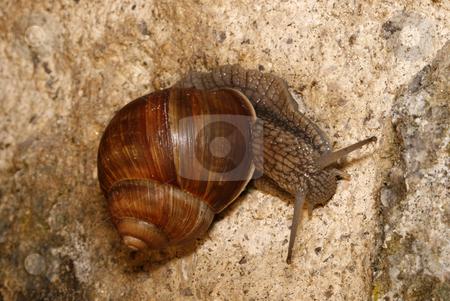 Helix pomatia stock photo, Detail of a snail - Helix pomatia - on the stone wall by Petr Koudelka