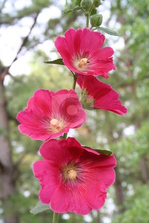 Pink Hollyhocks stock photo, Four pind Hollyhock flowers by Debbie Hayes