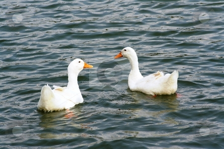 Two Ducks on a Pond stock photo, Two ducks swimming in a pond by Debbie Hayes