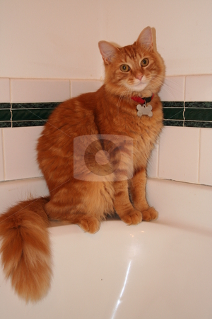 Orange Tabby Cat on Bathtub stock photo, Orange tabby cat posing on the side of the bathtub. by Debbie Hayes