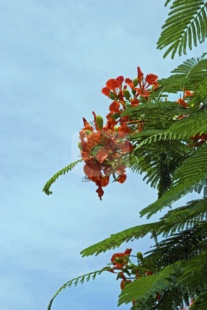 Royal Poincetta Tree stock photo, Royal Poincetta tree in full bloom by Robert Cabrera