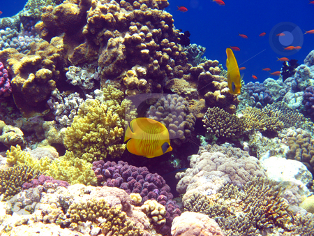 Coral reef in Red sea stock photo, Tropical fish and coral reef by Roman Vintonyak