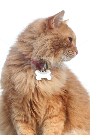 Profile of an Orange Cat stock photo, Profile of an orange tabby cat by Debbie Hayes