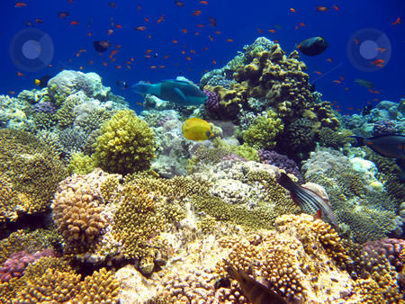 Tropical coral reef in Red sea stock photo, Tropical fish and coral reef by Roman Vintonyak