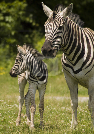 Zebras stock photo, Baby zebra and his mother standing in grass by Vlad Podkhlebnik