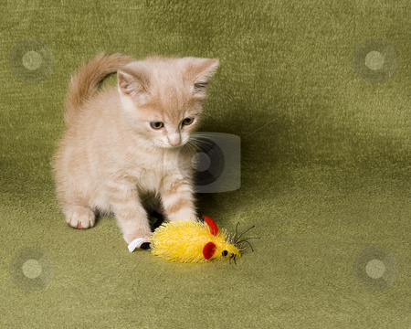 Kitten stock photo, Cute kitten playing with his mouse toy by Vlad Podkhlebnik