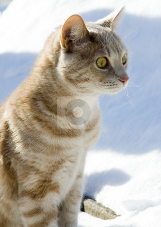 Cat stock photo, A cat sitting outdoor in the snow by Vlad Podkhlebnik