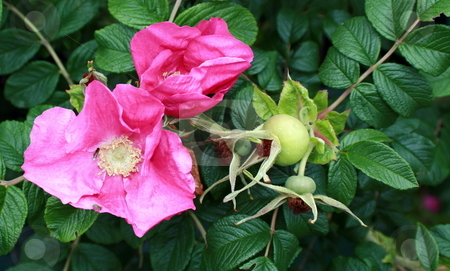 Wild Roses with Bees stock photo, A wild rugosa rose, with bees on the opened blossom by Tom and Beth Pulsipher