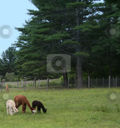 Alpacas -  Mother and Babies stock photo, A brown adult female alpaca, with two baby crias, black and white by Tom and Beth Pulsipher