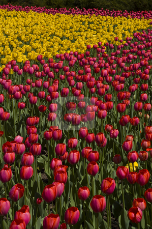 Tulips stock photo, Endless field of yellow and red tulips by Vlad Podkhlebnik