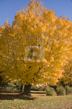 Tree stock photo, A big yellow tree loosing it's leaves by Vlad Podkhlebnik