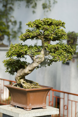 Bonzai tree stock photo, A small bonai tree in a square pot by Vlad Podkhlebnik