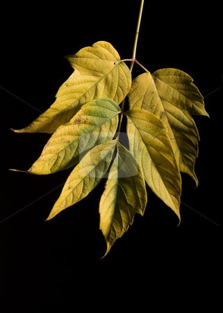 Leaf stock photo, Colorfull fallen leaf on a black background by Vlad Podkhlebnik