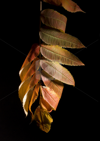 Leaves on branch stock photo, Colorfull fallen leaf on a black background by Vlad Podkhlebnik