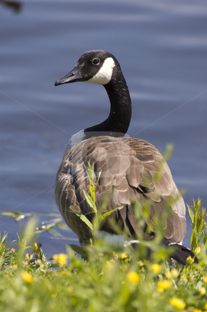 Goose stock photo, A canadian goose in its natural habitat by Vlad Podkhlebnik