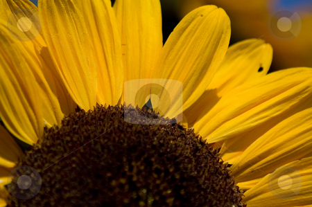 Sunflower stock photo, Closup of a sunflower with insects by Vlad Podkhlebnik