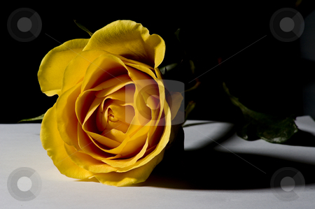 Yellow rose stock photo, A yellow rose on a white table and black background by Vlad Podkhlebnik