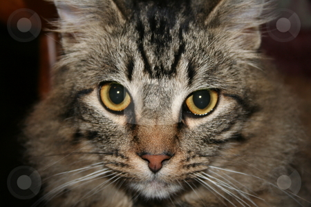 Brown Tabby Cat stock photo, Fluffy brown tabby cat by Debbie Hayes