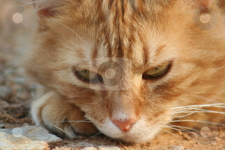 Orange Tabby Cat stock photo, Close up of the face of an orange tabby cat. by Debbie Hayes