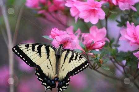 Butterfly on an Azelea Bush stock photo, Yellow and black butterfly on an Azelea bush. by Debbie Hayes