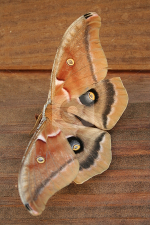 Moth  stock photo, Moth on the side of a wood house by Debbie Hayes