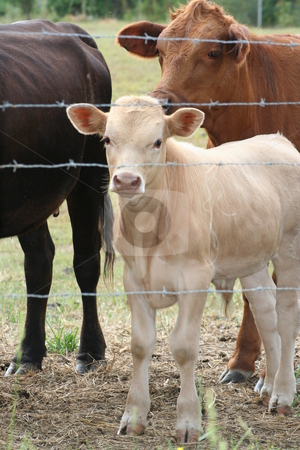 White Calf stock photo, Cows looking through a barbed wire fence. by Debbie Hayes