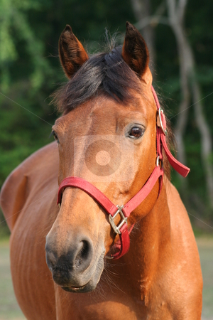 Brown Horse stock photo, Brown horse with red briddle by Debbie Hayes