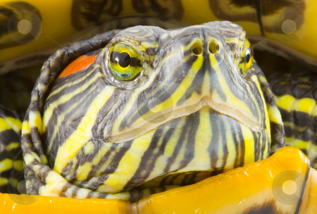 Pseudemys scripta elegans  stock photo, Head and face of a turtle - Pseudemys scripta elegans - close up by Petr Koudelka