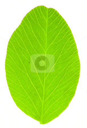Leaf of Clover stock photo, Detail of a leaf blade of clover - macro by Petr Koudelka