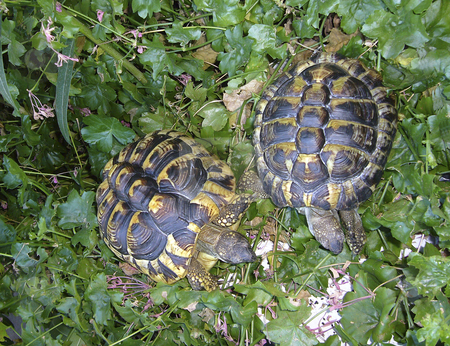 Testudo Hermanni stock photo, Detailed view of a full-grown couple of testudo hermanni. by Petr Koudelka