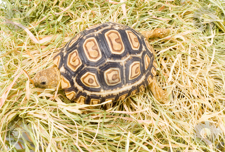 Geochelone Pardalis stock photo, A young tortoise - Geochelone Pardalis - on the dry grass - close up by Petr Koudelka