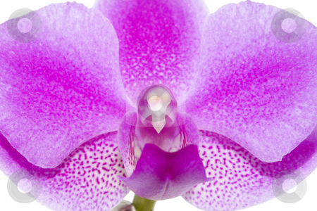 Orchid stock photo, A closeup of the glorious pink of a Phalaenopsis orchid by Petr Koudelka