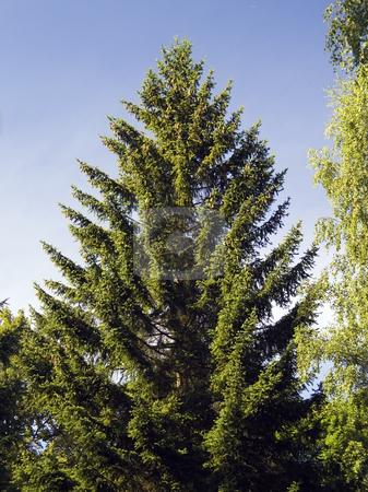 Spruce Tree stock photo, A nice single spruce tree against the dark blue sky by Petr Koudelka