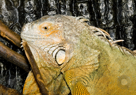 Iguana iguana stock photo, Face and head of an adult female Iguana iguana by Petr Koudelka