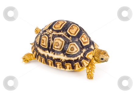 Geochelone Pardalis stock photo, A young tortoise - Geochelone Pardalis - on the white background - close up by Petr Koudelka